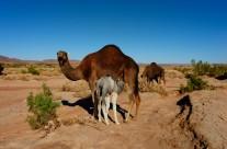 chameau 1 maroc