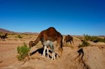 chameau 2 maroc